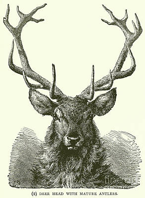 Photograph - Deer Head With Mature Antlers by English School