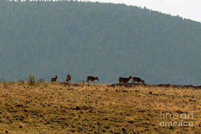 Steven Krull Royalty-Free and Rights-Managed Images - Deer Herd on a Warm Colorado Spring Morning by Steven Krull