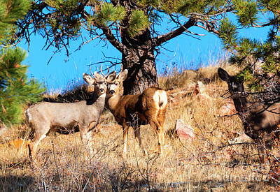 Photograph - Deer Herd On Mountain by Steve Krull