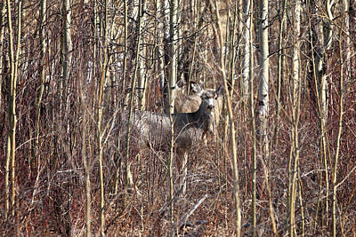 Photograph - Deer Hiding by Todd Klassy