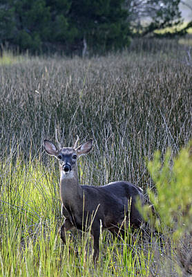 Photograph - Deer In A Marsh by Bruce Gourley