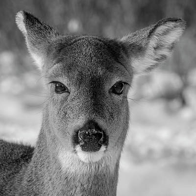 Photograph - Deer In Black  White by Cathy Kovarik