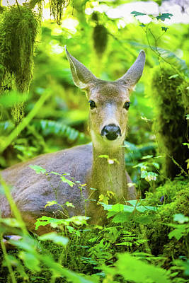 Royalty-Free and Rights-Managed Images - Deer in Rainforest 2 by Brian Knott Photography