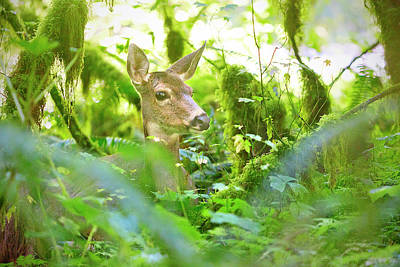 Royalty-Free and Rights-Managed Images - Deer in Rainforest 4 by Brian Knott Photography