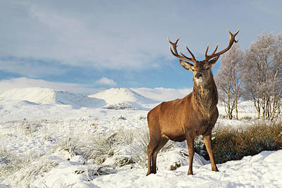Photograph - Deer In The Snow by Grant Glendinning
