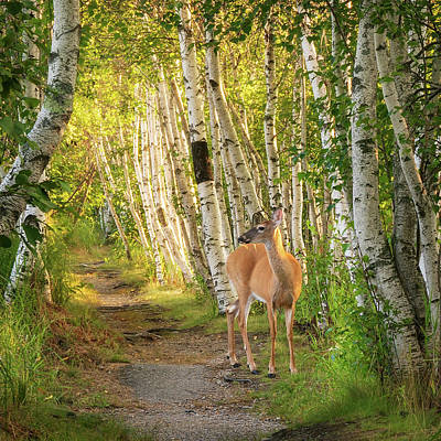 Photograph - Deer In The Woods by Darylann Leonard Photography