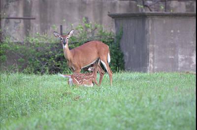 Photograph - Deer Nursing by Buddy Scott