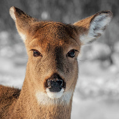 Photograph - Deer Portrait by Cathy Kovarik