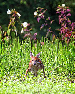 Photograph - Deer With Hibiscus by Alan Raasch