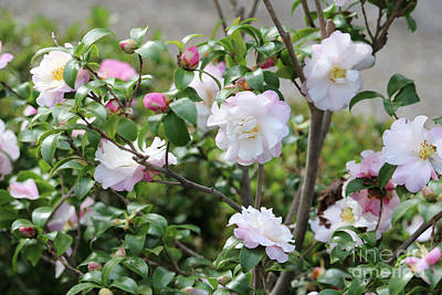 Photograph - Delicate White And Pink Camellias by Carol Groenen