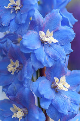 Photograph - Delphinium Cobalt Dreams 2 by Jenny Rainbow
