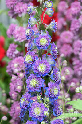 Photograph - Delphinium Highlander Sweet Sensation by Tim Gainey