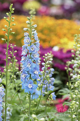 Photograph - Delphinium Magic Fountains Sky Blue White Bee Flower by Tim Gainey