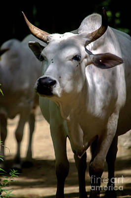 Photograph - Deoni Cow by Michelle Meenawong