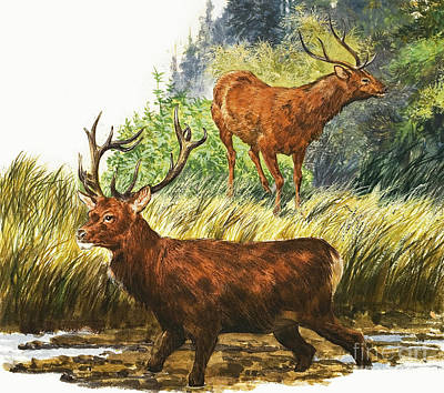 Painting - Depiction Of Two Red Deer by Eric Tansley