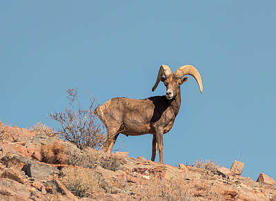 Photograph - Desert Bighorn by Loree Johnson