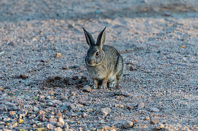 Photograph - Desert Cottontail 1 by Douglas Killourie