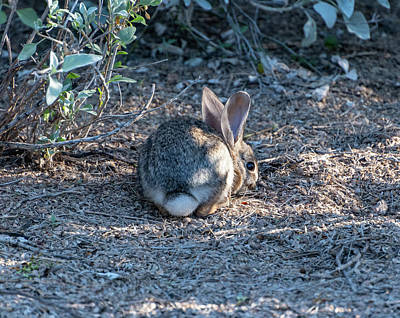 Photograph - Desert Cottontail 4 by Douglas Killourie