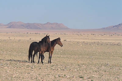 Photograph - Desert Dwelling Horses, Namibia by David Hosking