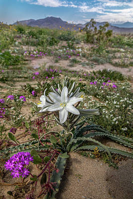 Lilies Royalty-Free and Rights-Managed Images - Desert Lily by Peter Tellone