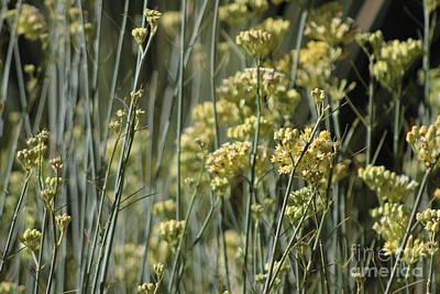Photograph - Desert Milkweed Sunnyland Estates Rancho Mirage California by Colleen Cornelius