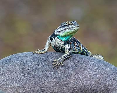 Photograph - Desert Spiny Lizard H1845 by Mark Myhaver