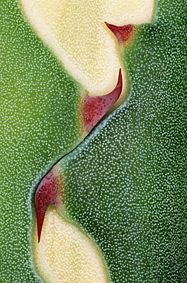 Photograph - Detail Of American Agave Leaf Showing by Steven Taylor