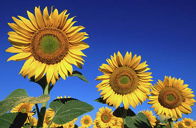 Close Up Photograph - Detail Of Sunflowers, Tuscany, Italy by John Elk Iii