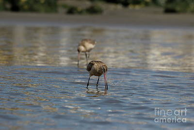 Photograph - Determined Godwit by P W