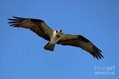 Photograph - Determined Osprey by Carol Groenen