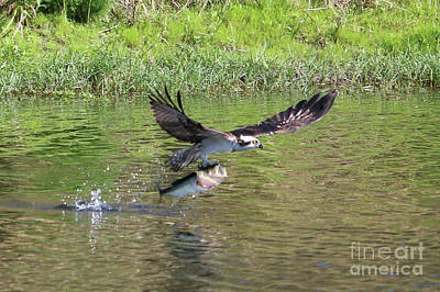Photograph - Determined Osprey With Fish by Carol Groenen