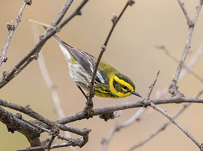 Photograph - Diagonal Townsends Warbler by Loree Johnson