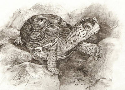 Drawing - Diamondback Terrapin by Abby McBride