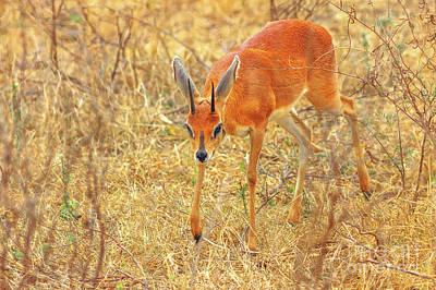 Photograph - Dik Dik Small Antelopes by Benny Marty