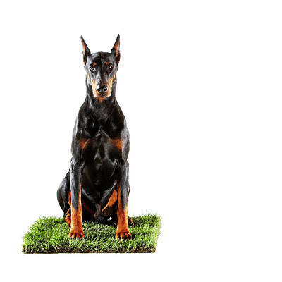 Doberman Wall Art - Photograph - Doberman Sitting On Patch Of Grass by Thomas Northcut