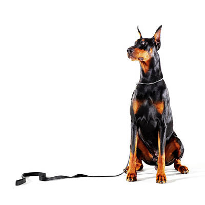 Doberman Wall Art - Photograph - Doberman With Leash On White Background by Thomas Northcut
