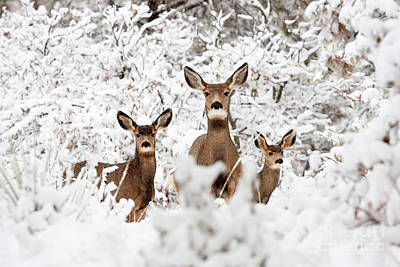 Recently Sold - Steven Krull Royalty-Free and Rights-Managed Images - Doe Mule Deer in Snow by Steven Krull