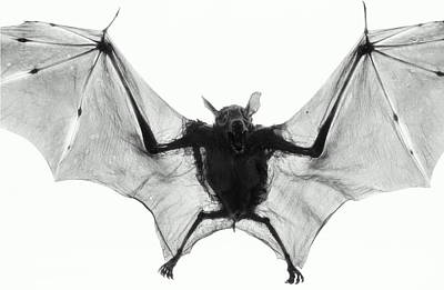 Photograph - Dog-faced Fruit Bat Cynopterus by Henry Horenstein