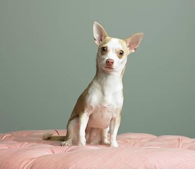 Photograph - Dog Sitting On Cushion by Ryan Mcvay