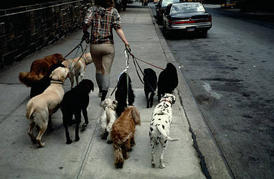 Photograph - Dog Walker In New York City by Alfred Gescheidt