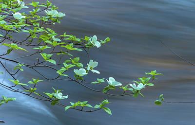 Photograph - dogwood blossoms II by Jonathan Nguyen