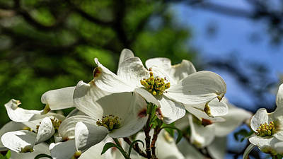Photograph - Dogwood Day Afternoon by ProPeak Photography