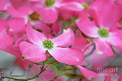Royalty-Free and Rights-Managed Images - Dogwood Pink Delight by Regina Geoghan