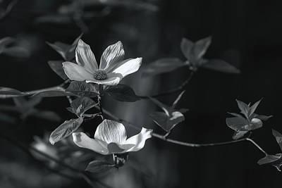 Photograph - Dogwoods Bw by Jonathan Nguyen