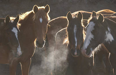 Photograph - Domestic Horse Equus Caballus, Herd At by Pete Oxford/ Minden Pictures