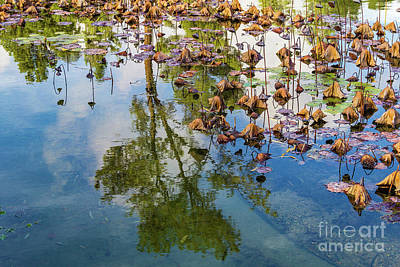 Wall Art - Photograph - Dormant Lotus Plants With Reflections by Roslyn Wilkins