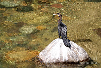 Photograph - Double-crested Cormorant by Teresa Zieba