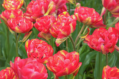 Photograph - Double Late Tulips Sundowner by Jenny Rainbow