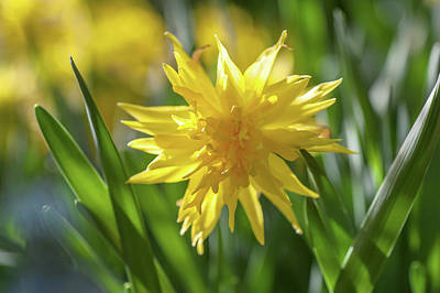 Photograph - Double Narcissus Rip Van Winkle 1 by Jenny Rainbow