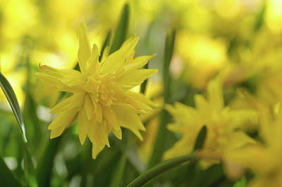 Photograph - Double Narcissus Rip Van Winkle by Jenny Rainbow